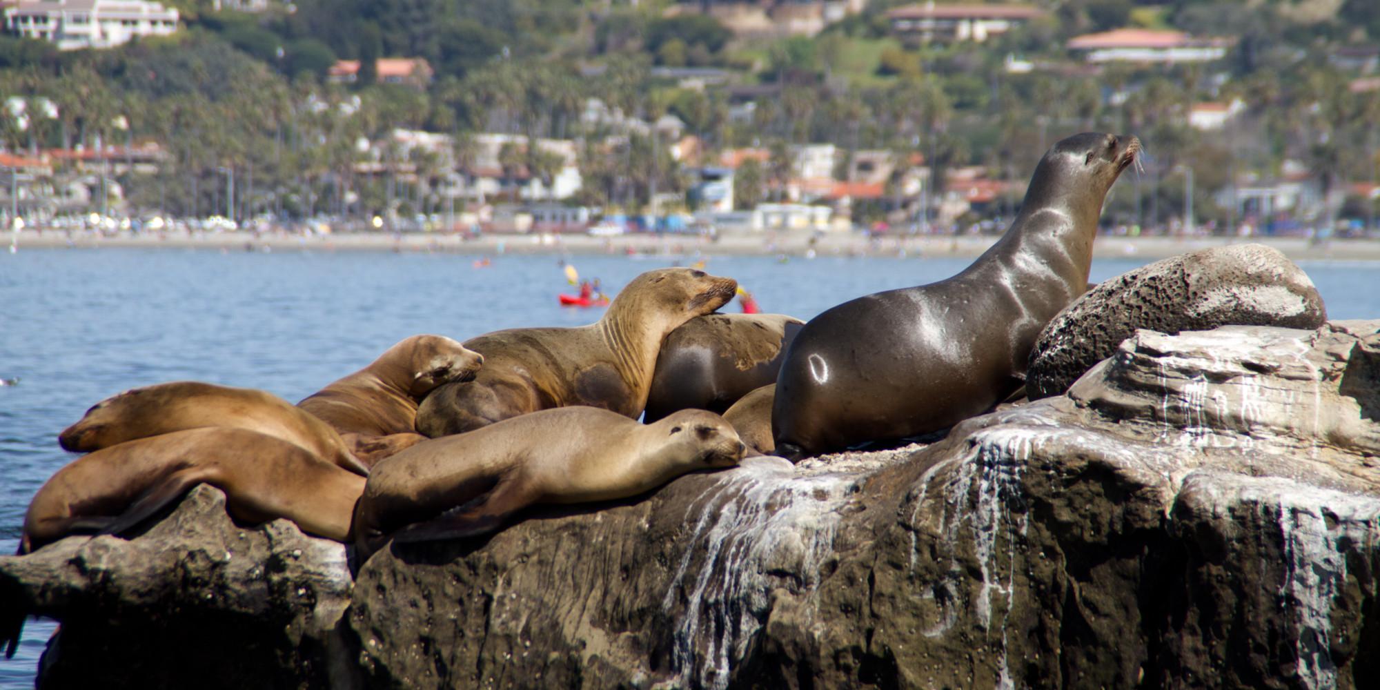 Sea Lion Poop In La Jolla Califorinia Irks Business