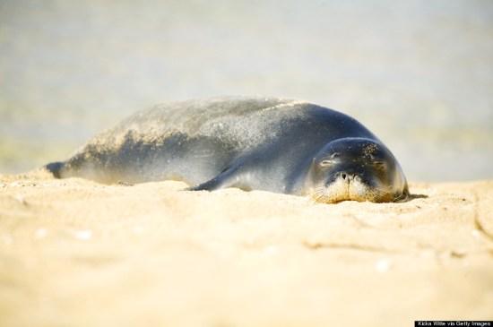 seal pup sleeping
