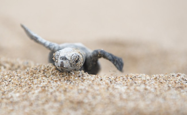Baby Sea Turtles Are So Adorable That They Make Everything