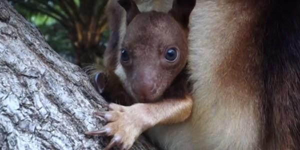 Baby Tree Kangaroo Debuts Sydney' Taronga Zoo Video