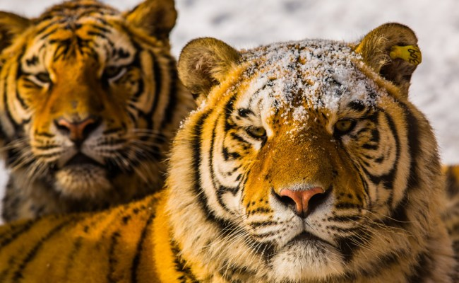 10 Tigers Reportedly Slaughtered In China For Visual
