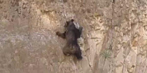 Bears Rock Climbing