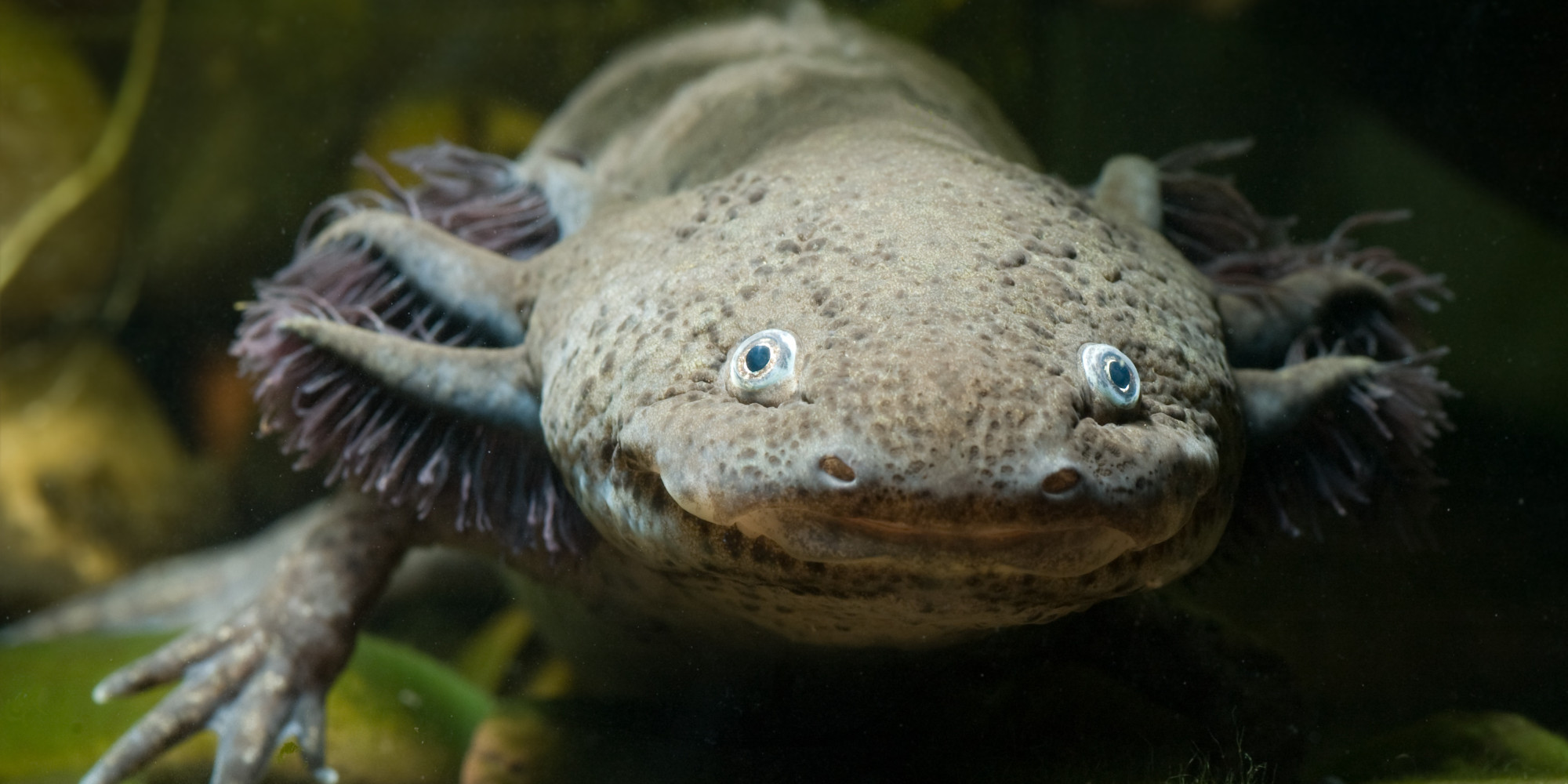 Laxolotl petit monstre aquatique mexicain est en danger dextinction