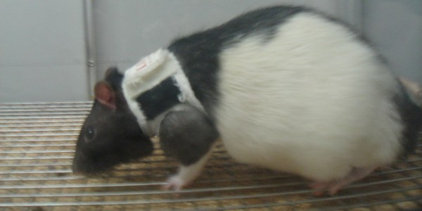 Shows Rat 'lingerie' Rodents In
