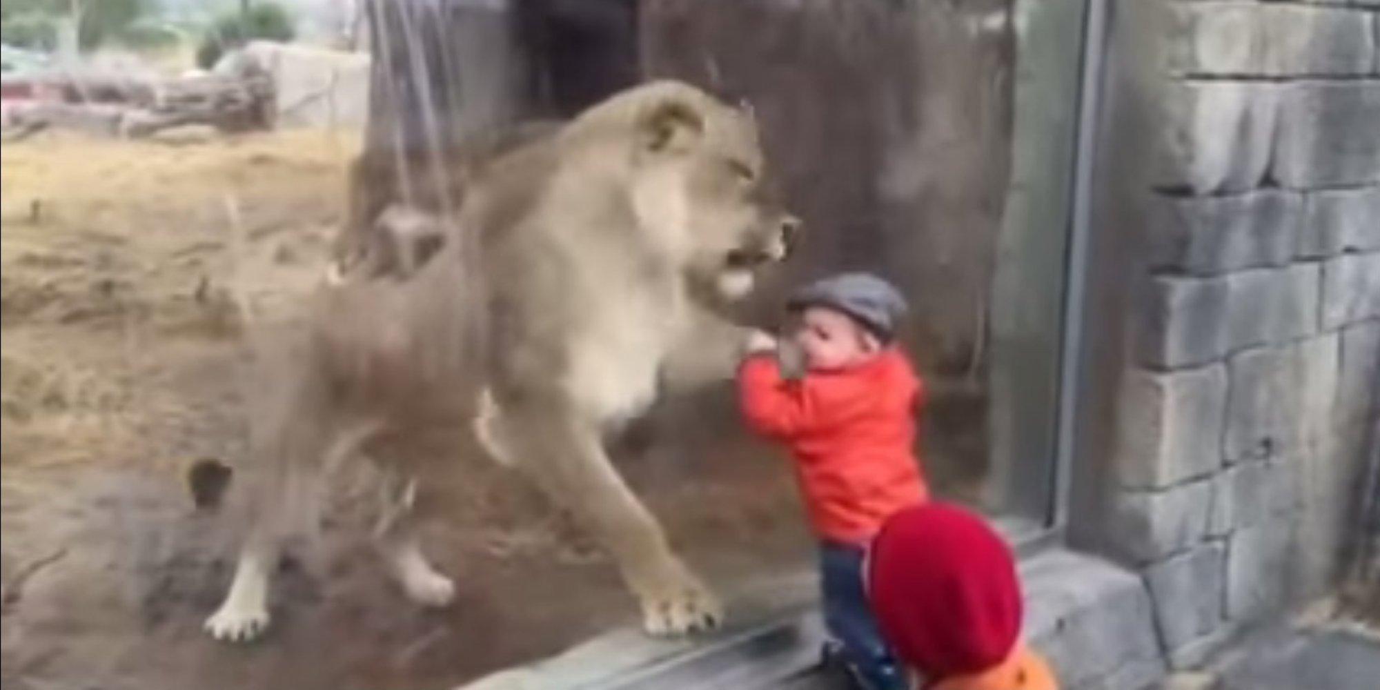 VIDO Une Lionne Essaye De Manger Un Enfant Travers La