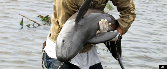 Tsunami Dolphin