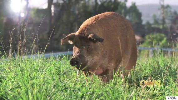 emma the pig at apricot lane farms