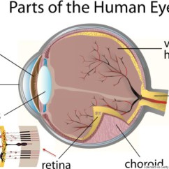 Structure Of Human Eye With Diagram Venn Word Problems 3 Circles The Is Wired Backwards And These Scientists Think They Anatomy