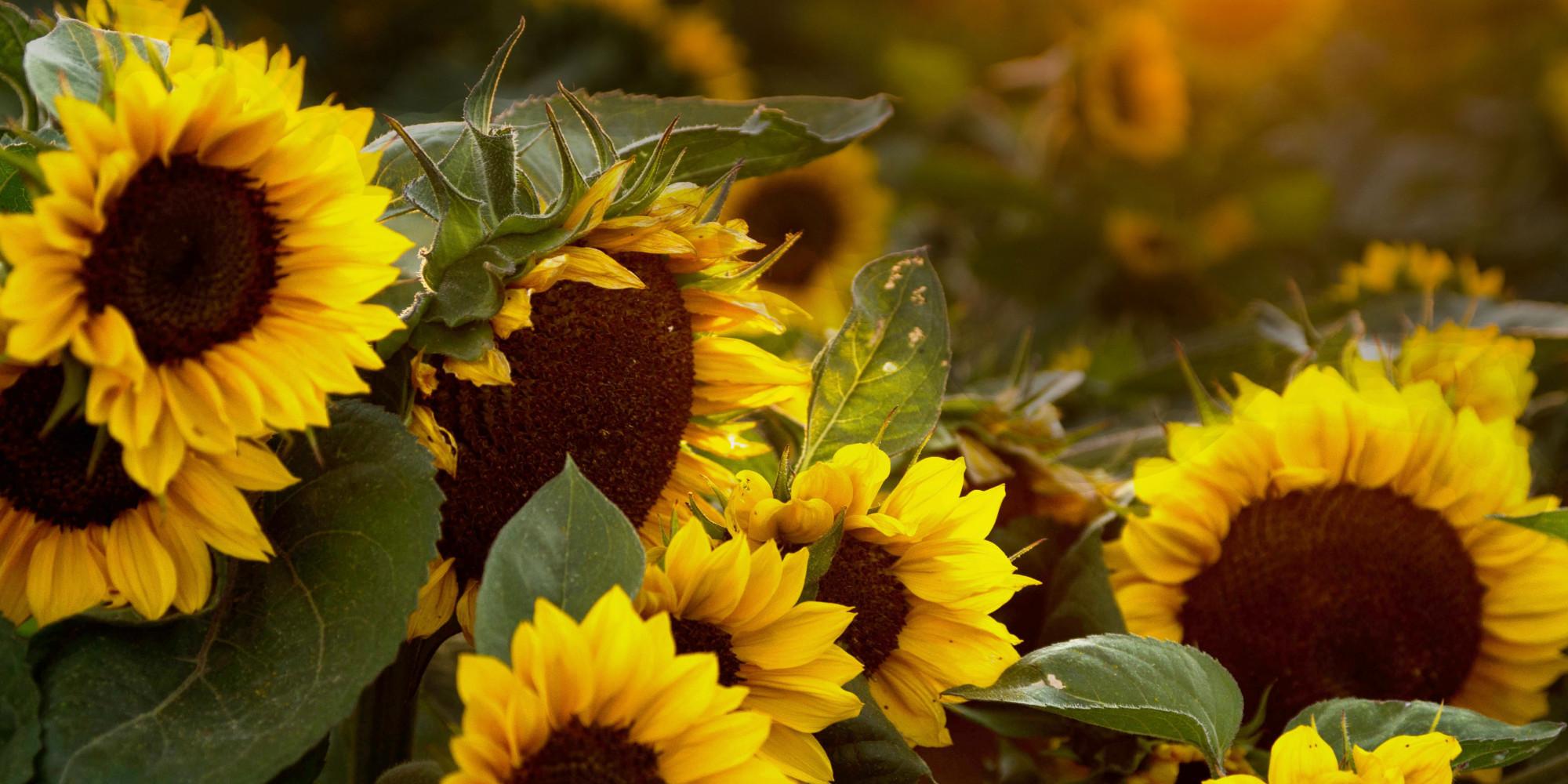 Free Fall Flower Desktop Wallpaper Daily Meditation Sunflower Sutra Huffpost