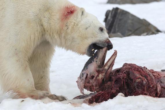 consequence du rechauffement climatique ours blanc dauphin