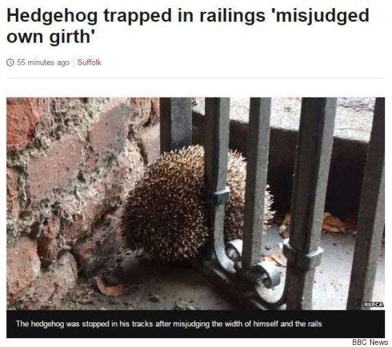 bbc news suffolk hedgehog misjudged his own girth