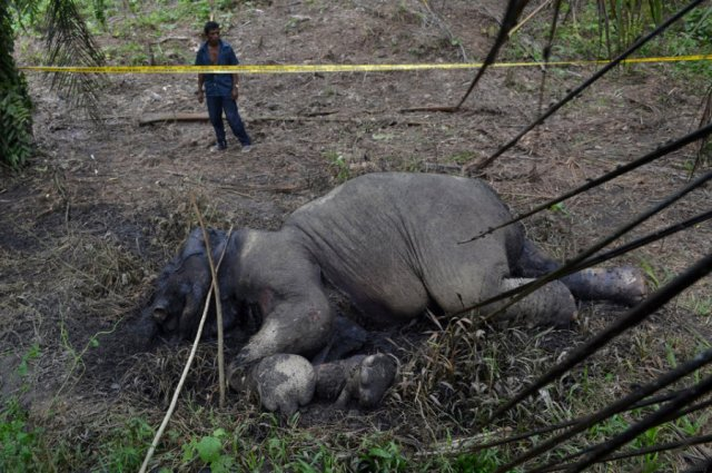 a carcass of an endangered sumatran elephant