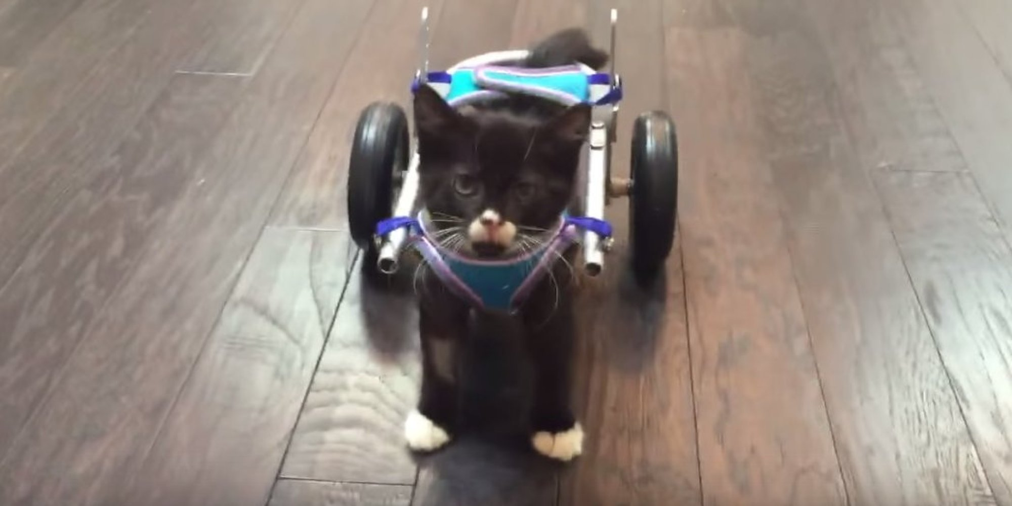 wheelchair for cats red side chair kitten walks again with 3d printed built in b c