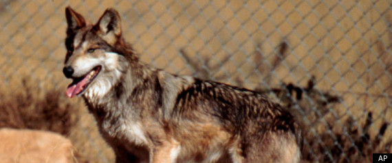 Rare Mexican Gray Wolves Set To Be Reintroduced Into The Wild