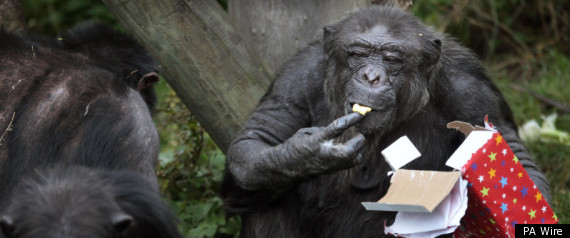 Chimp Turns 50: Ricky The Monkey Celebrates Birthday At Edinburgh Zoo In Scotland