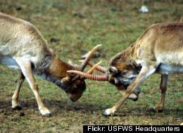 Antelope Die Off