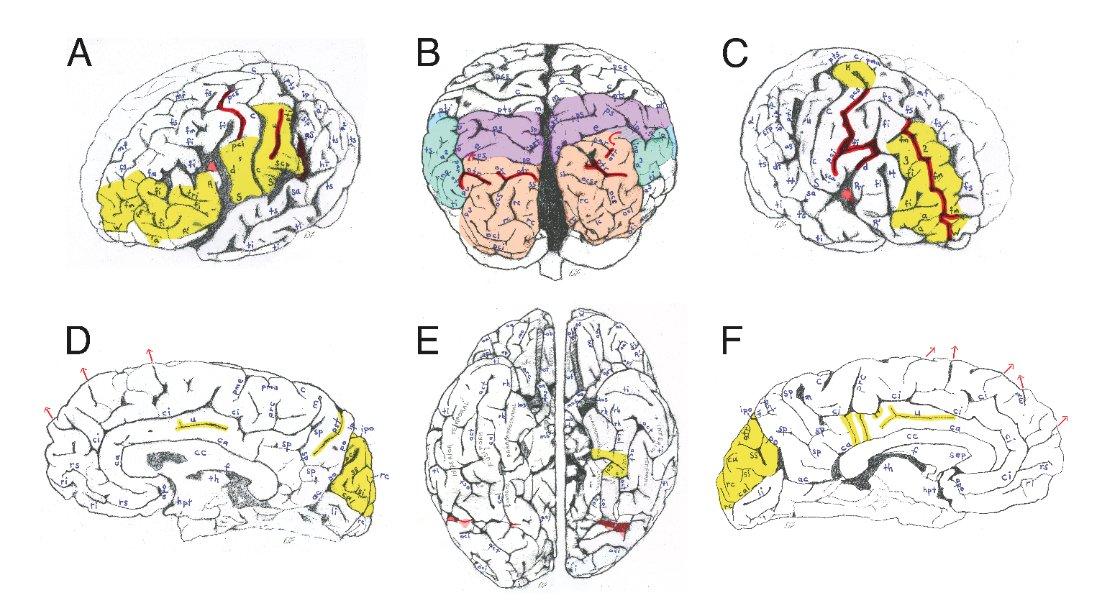 brain einstein