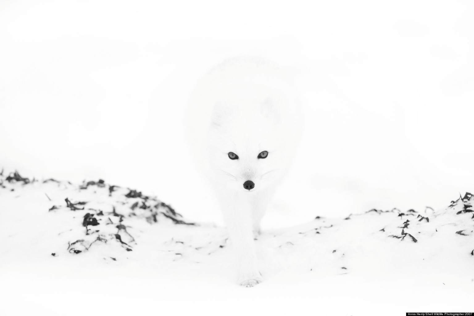 Anna Henly's Arctic Fox And More Gems From The Veolia