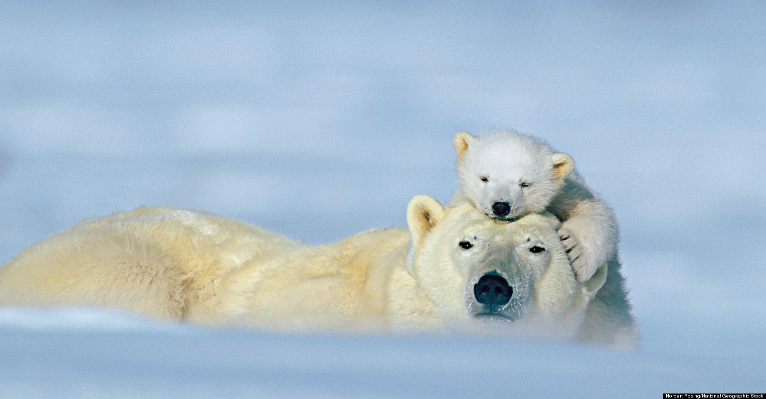 Cute Polar Bear Cubs Wallpaper Animal Love Photos National Geographic Previews Images Of