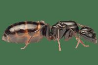 Camponotus-fallax-removebg-preview.png