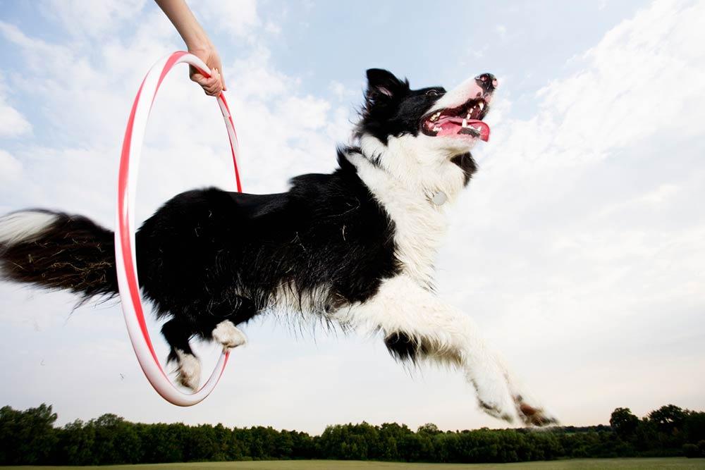 dog Jumping Through A Hoop