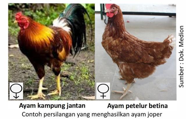 ayam joper 2021