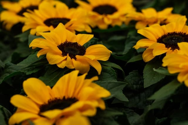 Sunflower सूरजमुखी