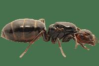 Camponotus-lateralis-removebg-preview.png