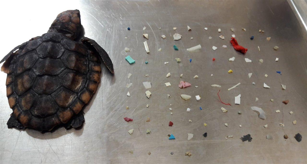 Encuentran una tortuga marina con más de 100 piezas de plástico en el estómago