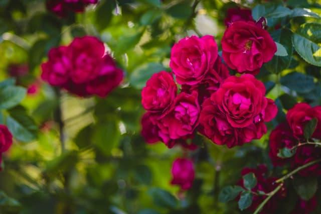 Rose गुलाब