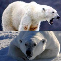 Lost Polar Bear Meme Exploring Mars
