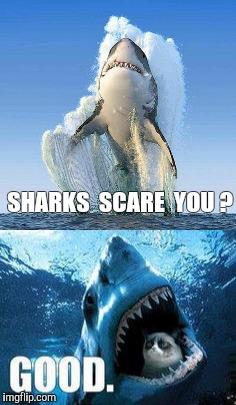 Great White Shark Imgflip