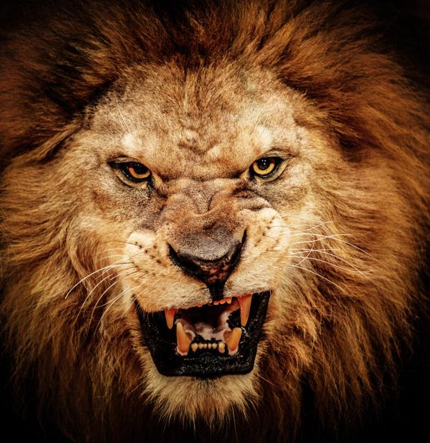 fierce lion blank template
