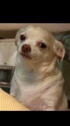 Chihuahua Squinting Meme : chihuahua, squinting, Chihuahua