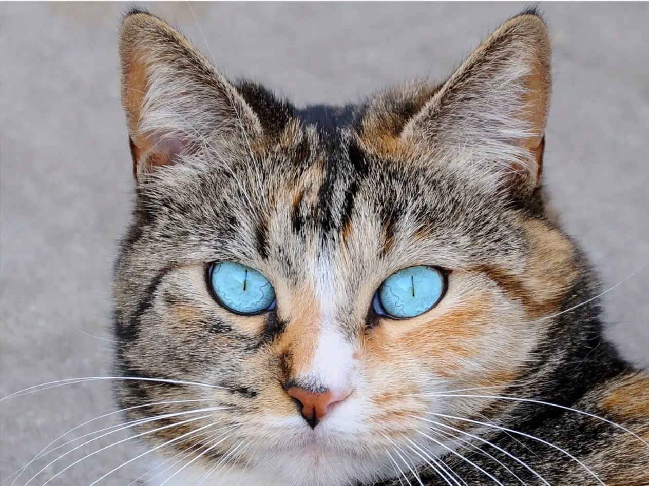 Pupil Cat Eyes Meaning Pictures