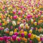 Photos Of Keukenhof Flower Fields In The Netherlands Without People