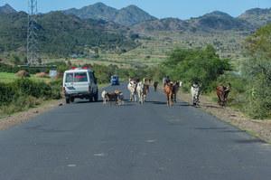 Indie: Kierowca próbował wyminąć krowę. Nie żyje 12 osób