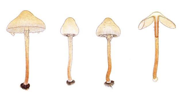 Deadly Dapperling, a member of the Lepiota family, usually grows in pine forests in Europe and North America.  This fungus contains amatoxin, a toxin that causes 80-90% of all deaths from mycotoxicosis.