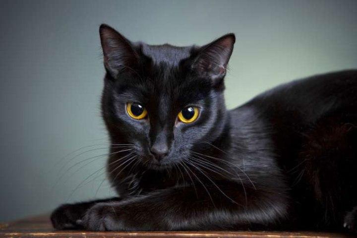 Việt Nam chúng ta không có tín ngưỡng liên quan đến mèo đen.