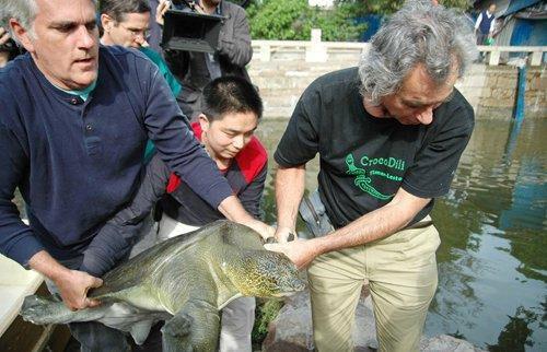 Cá thể rùa mai mềm Dương Tử cái được đưa tới công viên Sơn Phương năm 2008.