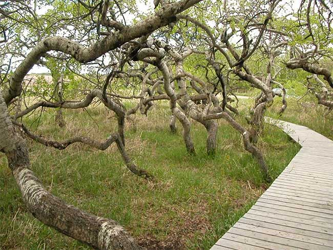 Mỗi năm có khoảng năm nghìn khách du lịch đến thăm quan vườn cây cổ nghiêng vẹo nhưng độc đáo này.