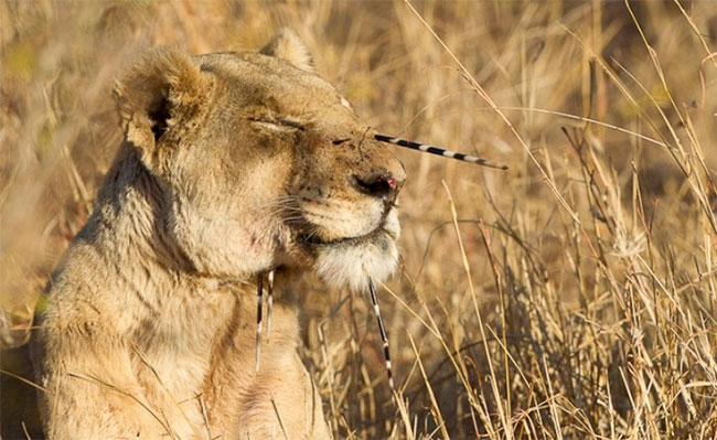 Những con sư tử thường bị thương tích rất nặng sau khi tấn công nhím.