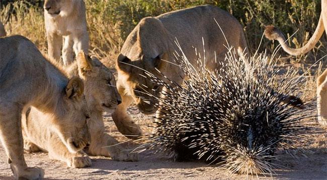 Những con sư tử săn nhím có thể xuất phát từ nguyên nhân khách quan.