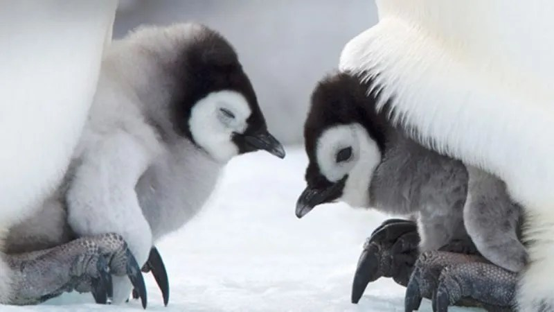 8 baby penguins that