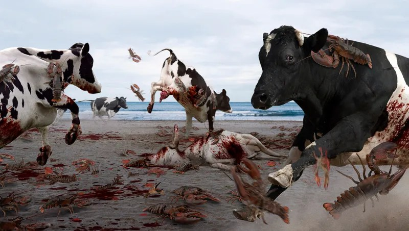 cows trample dozens of