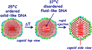 This Viral DNA Infects Cells by Changing From a Solid to a Liquid