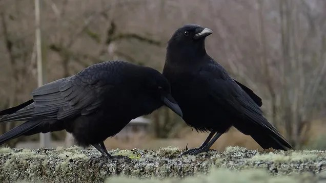 re3i3raklyam9bluh2q8 These Crows Evolved Into a New Species, Boned the Old Species Too Much, Now Back Where They Started | Gizmodo