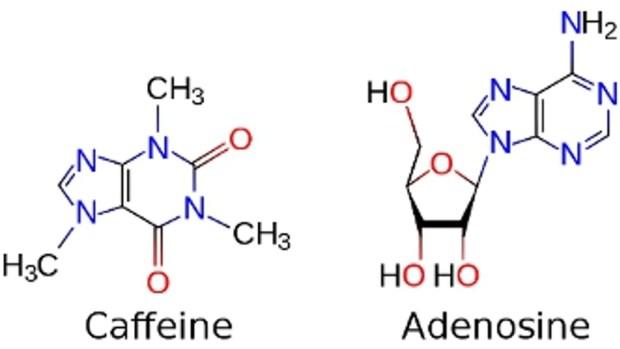 Image result for caffeine adenosine