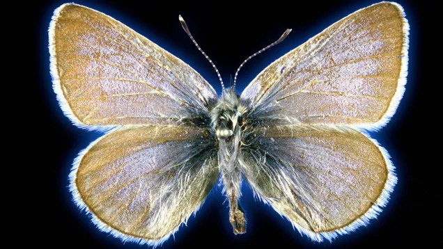 327e16d31b143012d73faca16c97d771 This Butterfly May Have Been the First Insect Driven Extinct by U.S. Urbanization | Gizmodo