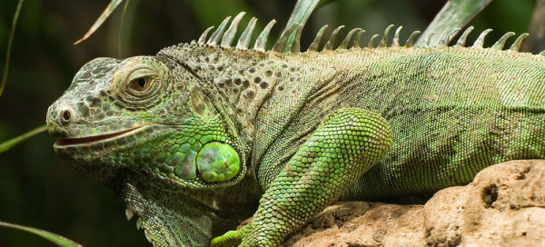 Fine Dining May Solve Puerto Rico39s Invasive Iguana Problem